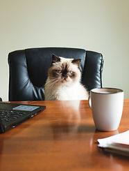 a-blue-point-himalayan-sits-at-a-desk_edited.jpg