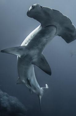 royal shark phuket