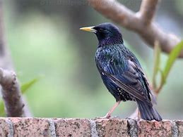 Starlings: Habitat, Movements, Feeding & Damage.