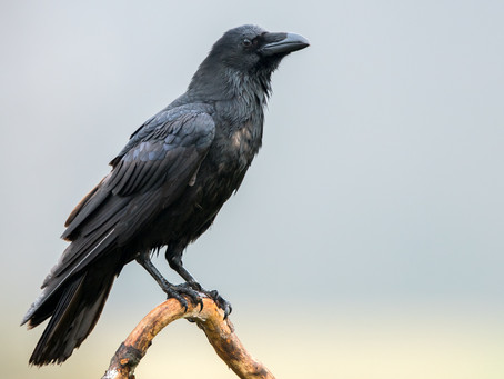 Is it a Crow or Raven? The facts you don't know.