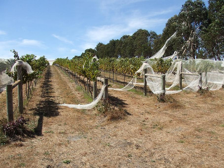 Why Australian growers replace bird netting with a laser bird deterrent