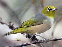 Think Starlings are your issue? Meet Silvereyes...