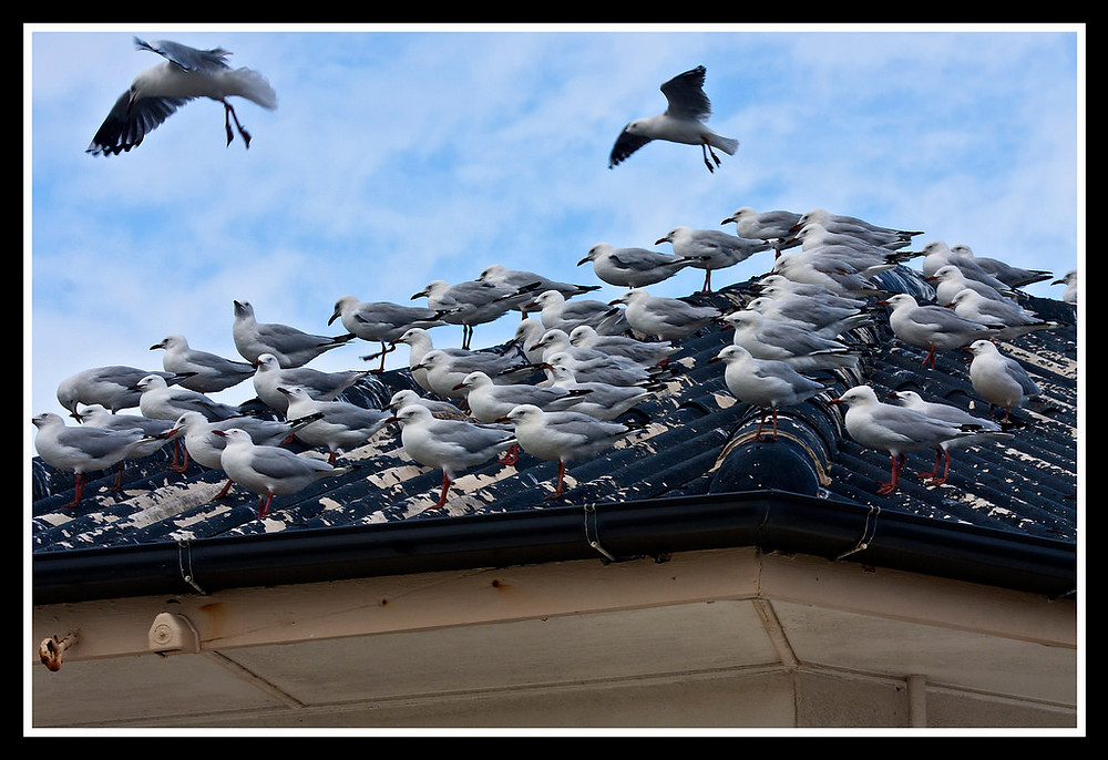 Mob of seagulls sitting on a rooftop and the damage they have done to the roof