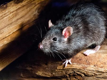 Rats Noir ou Rattus Rattus/Rats brun ou surmulot ou Rattus Norvegicus