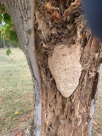 énormes nid de guêpes germanica dans un vieux tronc d'arbre