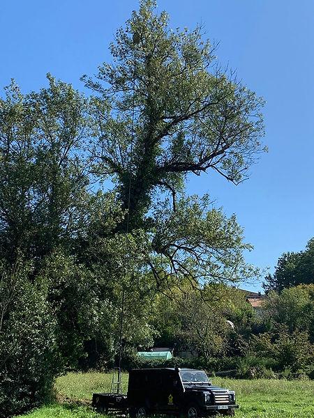 Destruction d'un nid de frelons asiatiques dans une cime d'arbre