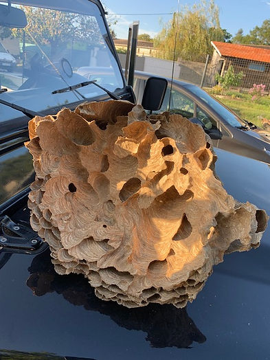 un morceau de nid de frelons énormes récupérés dans un arbre perché