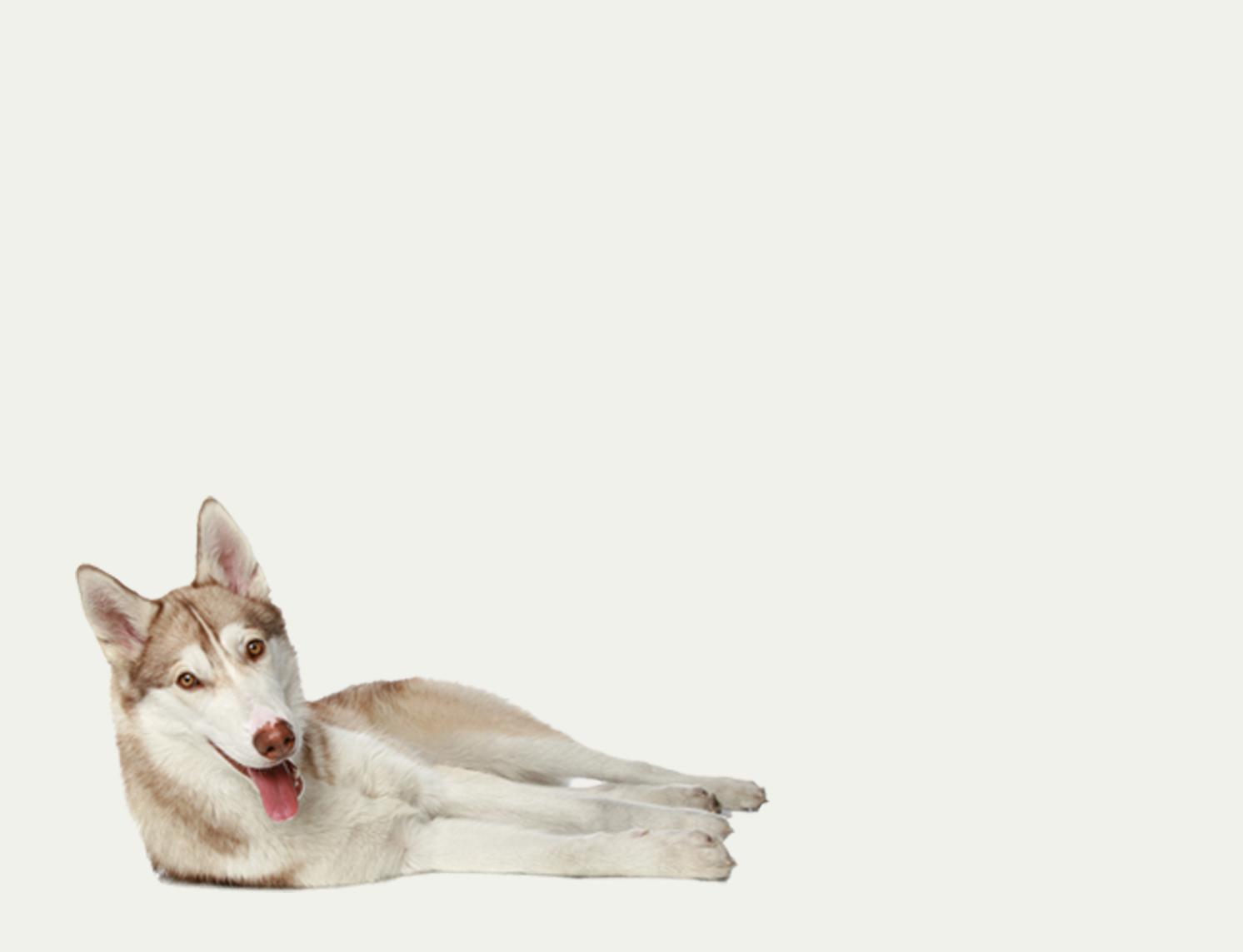 Siberian Husky Tale