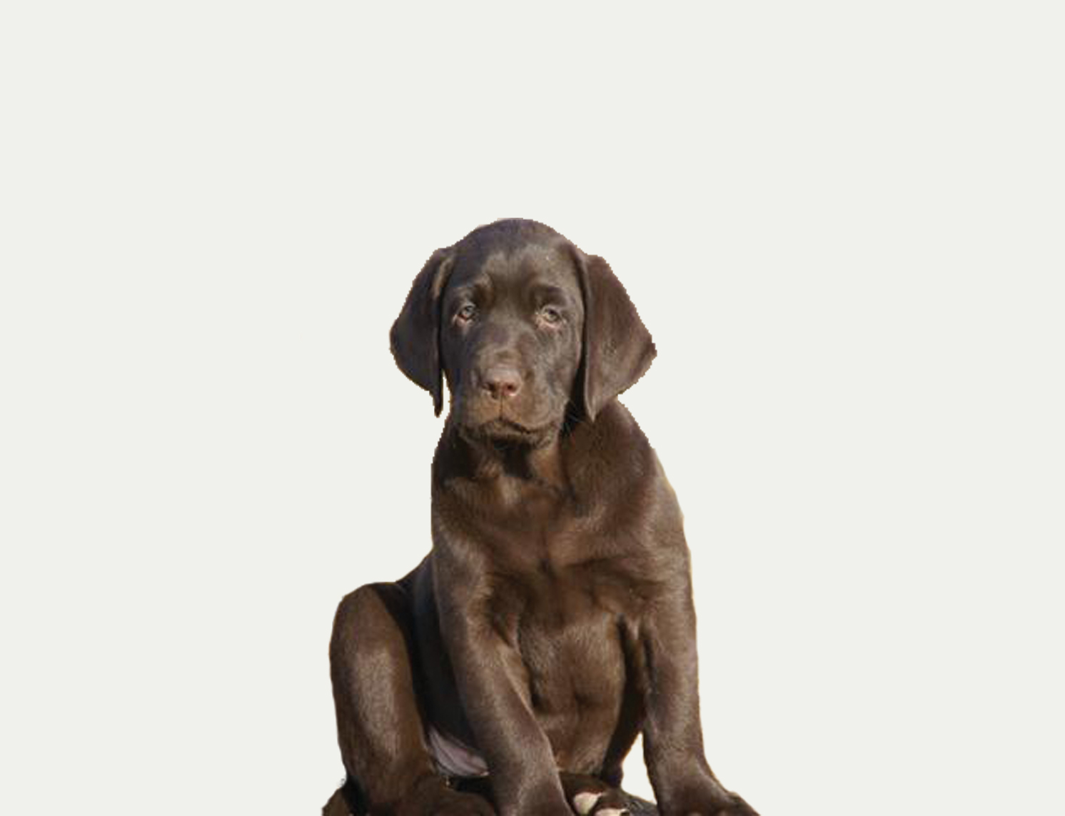 Chocolate Lab Tale