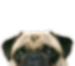 Peeping Pug