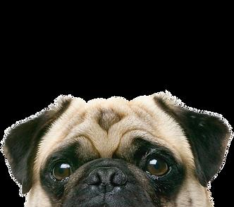 覗き見する犬のパグの顔