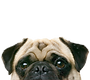 pug-supplements-1.jpg