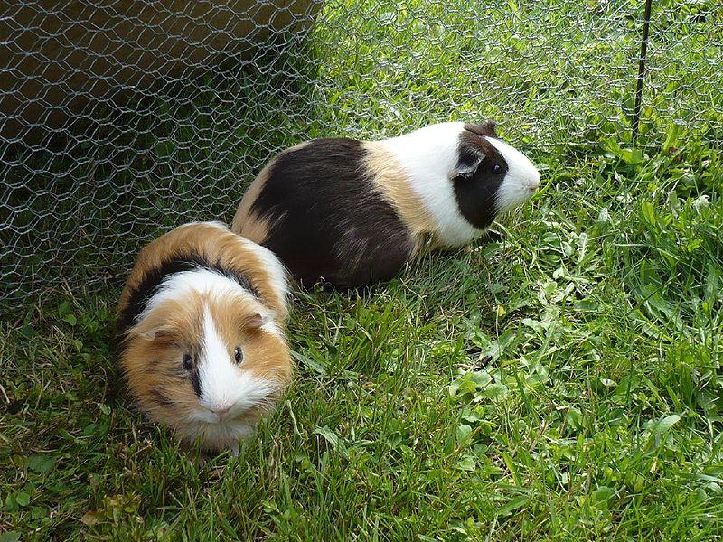 guinea_pig11