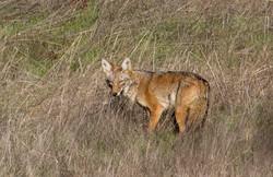 Coyote_MG_3395