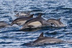 Common_dolphin_calf_3V2A7822