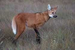 Maned_wolf_BH6A7785rs