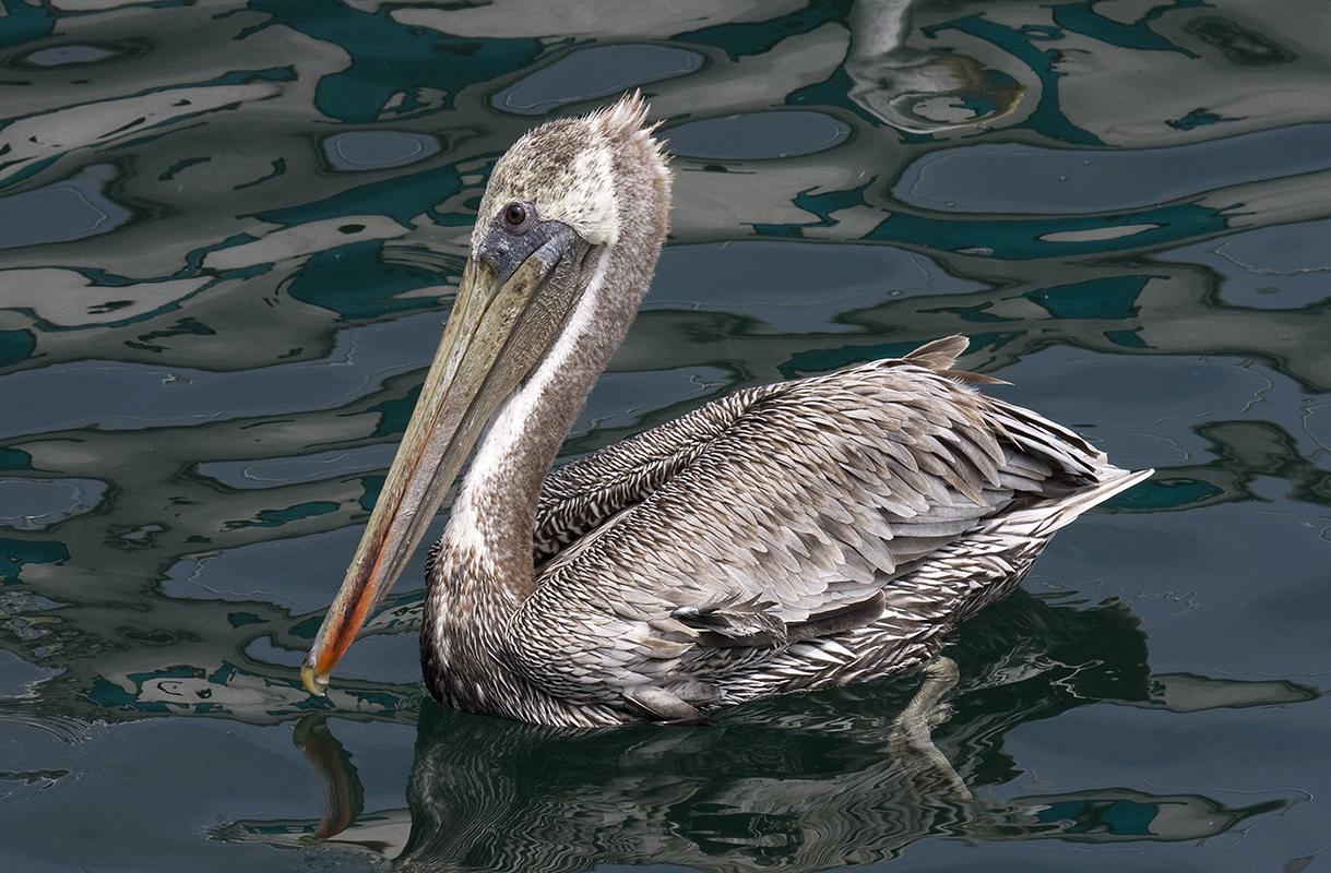 Pelican IMG_1740rs