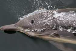 Common_dolphin_blow_3V2A5095
