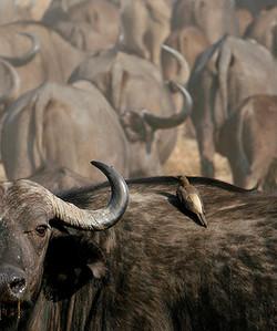 14 AA-Buffalo_Bull_w_ox_pecker