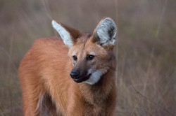 Maned_wolf_BH6A7798rs