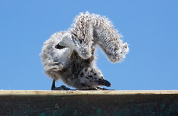 Gull_chick_H6A3710