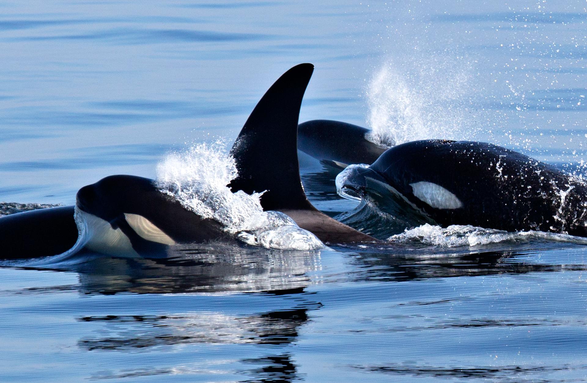 Killer_whales_BH6A1803crop