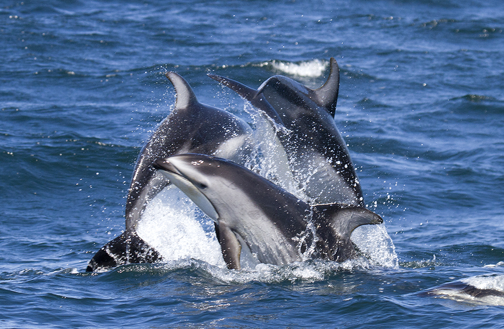 PWS_dolphins_IMG_7353