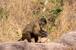 Capuchin_BH6A8523(2)rs