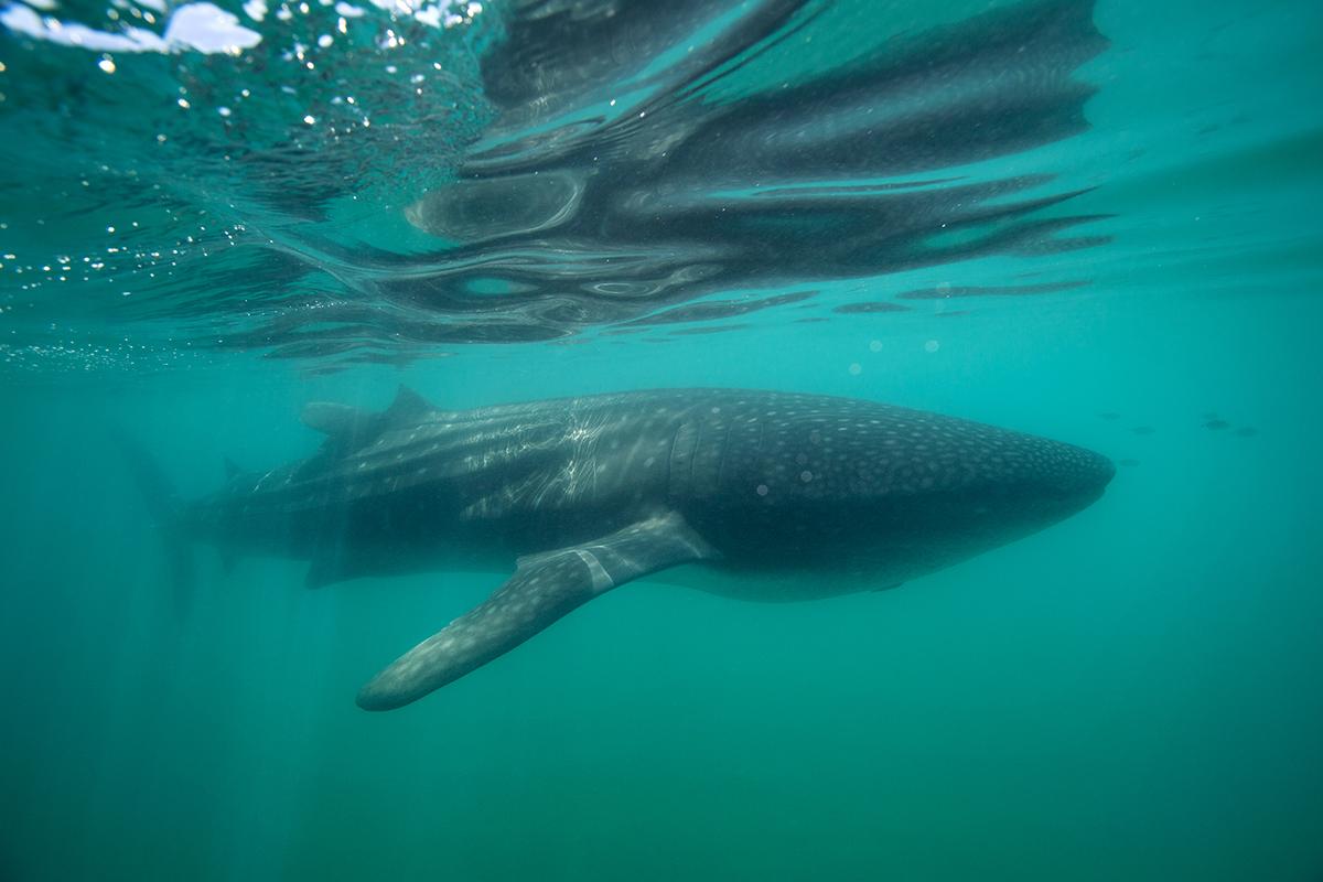 Whale_shark_BH6A8451rs
