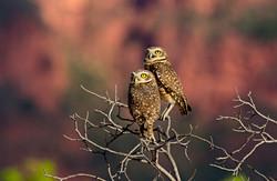 Burrowing_owls_BH6A8267