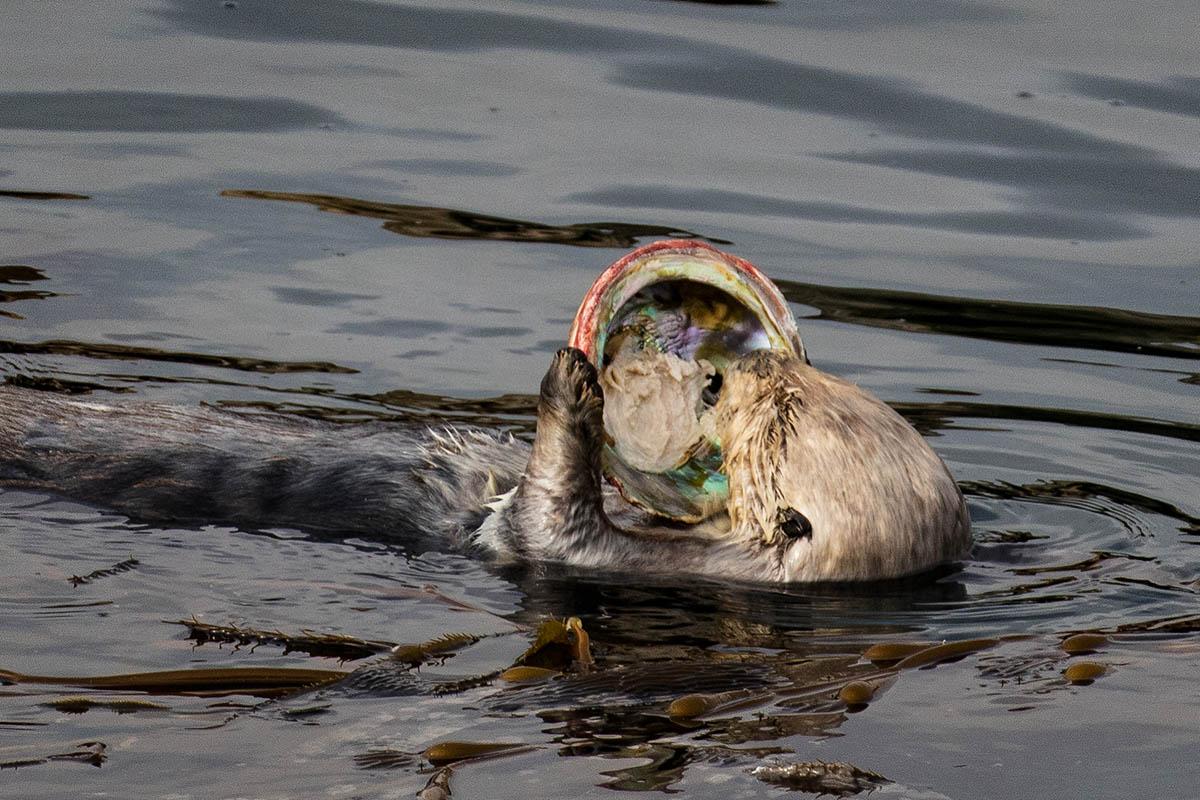 Otter_abalone_3V2A7109