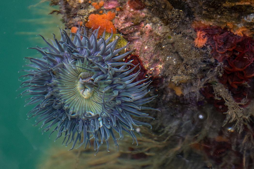 Sea_anemone_3V2A5824(2)