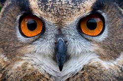 Owl_Gaze_IMG_3940crop