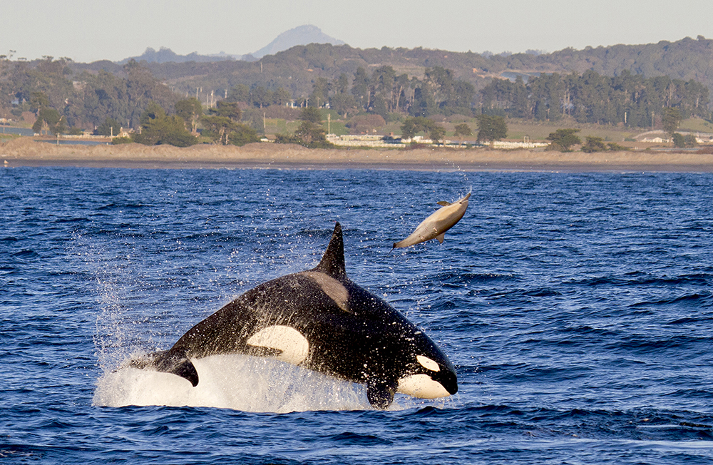 2 Killer_whale_common_dolphin_MG_5127