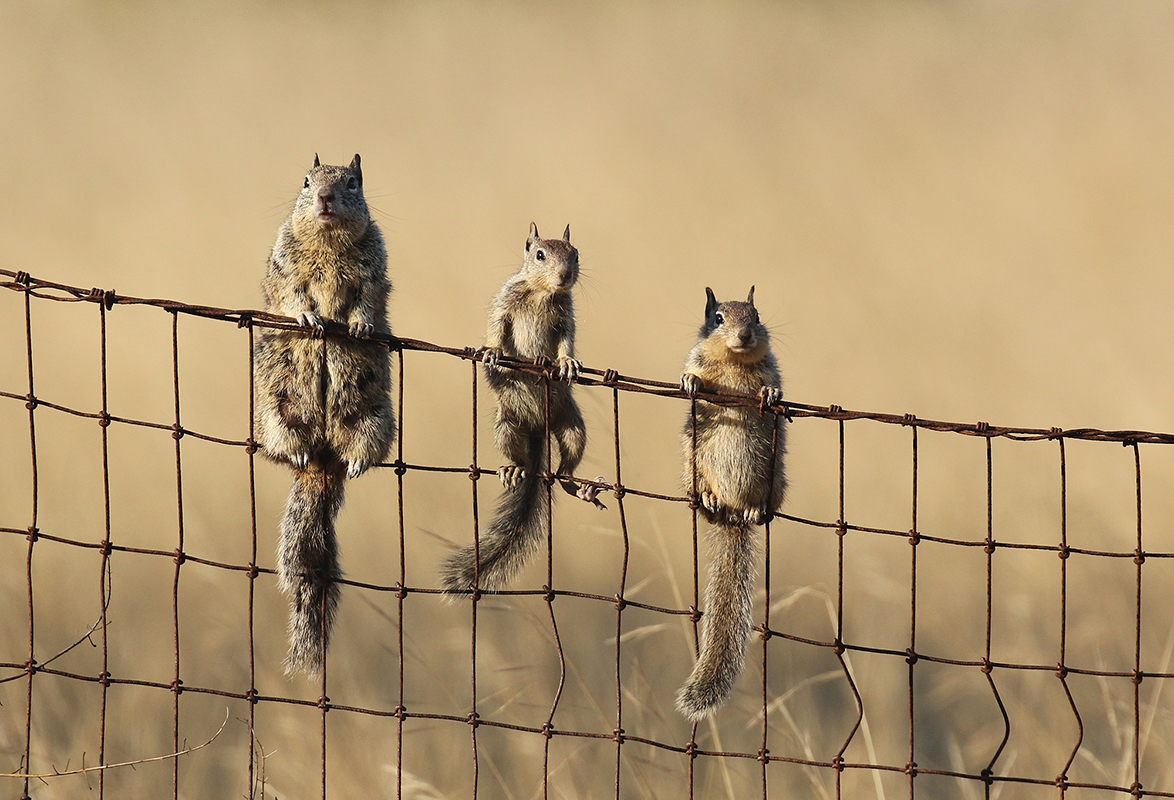 Ground_squirrels_3V2A0868rs