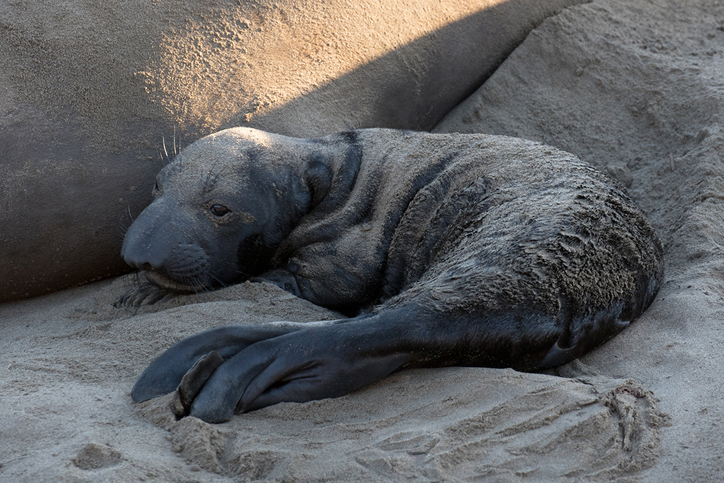Newborn_e-seal_pup_3V2A0934-Edit-2(OV)