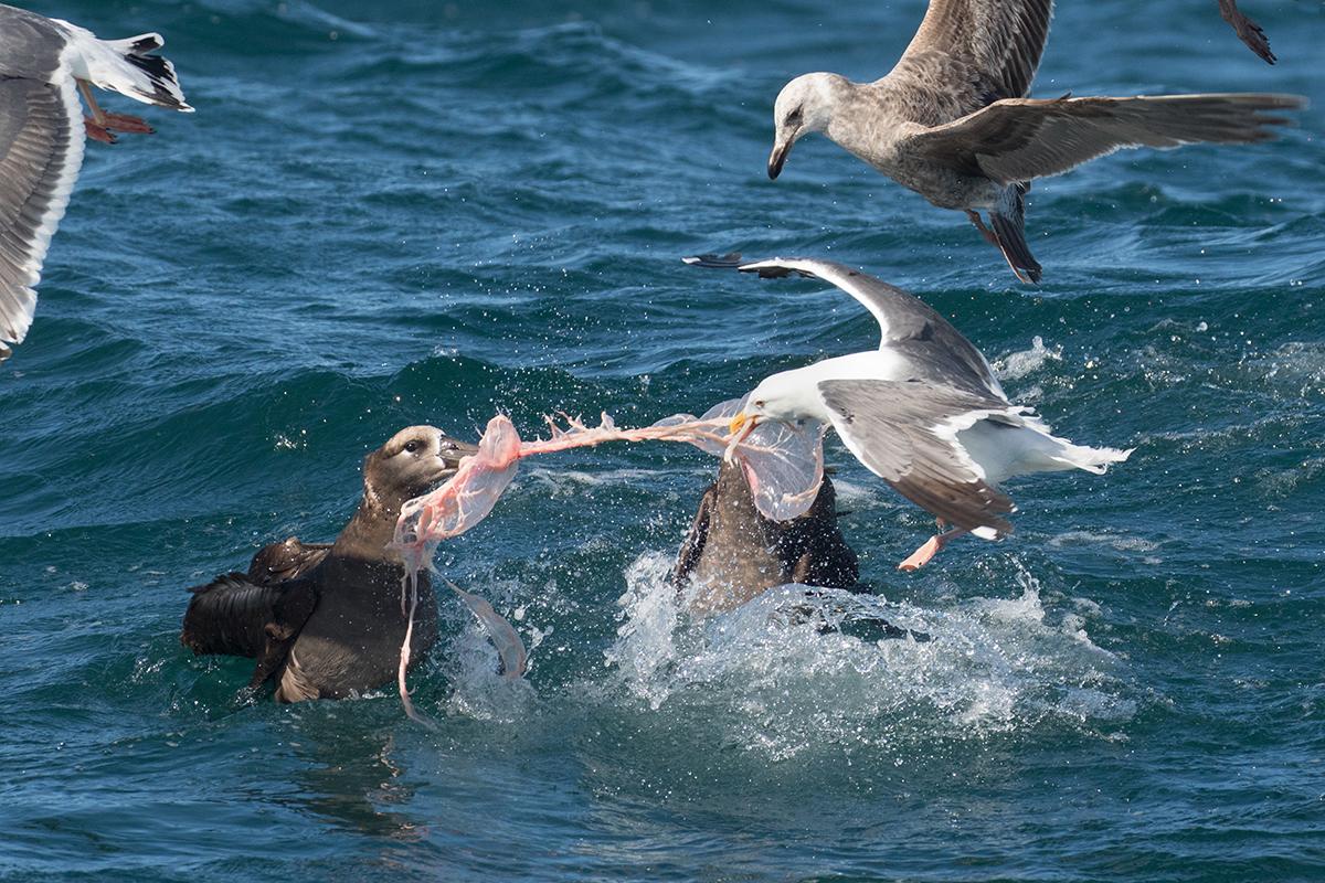 Albatross_gulls_GW_tissue_3V2A4054-2