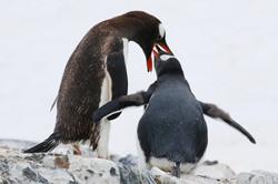 Penguin_feeding_3V2A9565