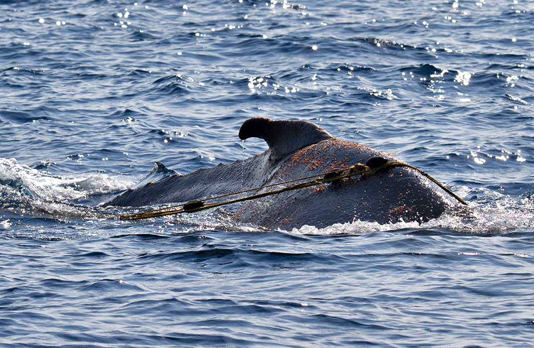 Entangled_whale_MG_5399rs