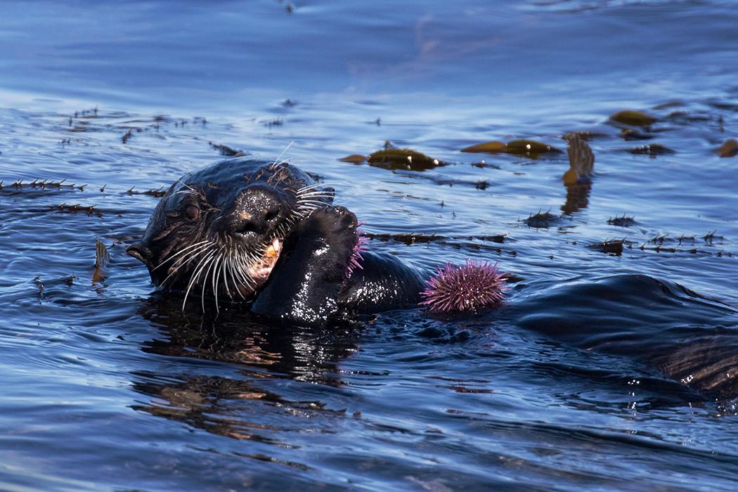 Sea_Otter_3V2A6980