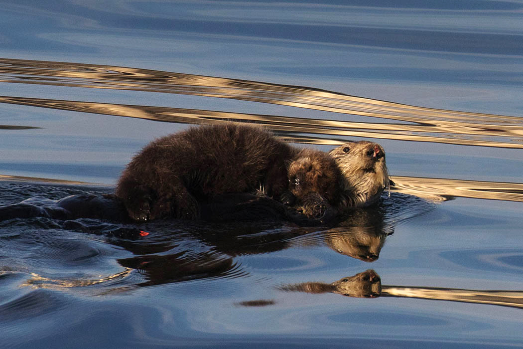 Otter_mom_pup_3V2A9671rs