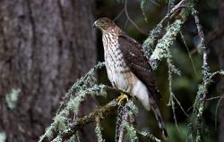 Cooper's Hawk IMG_0695