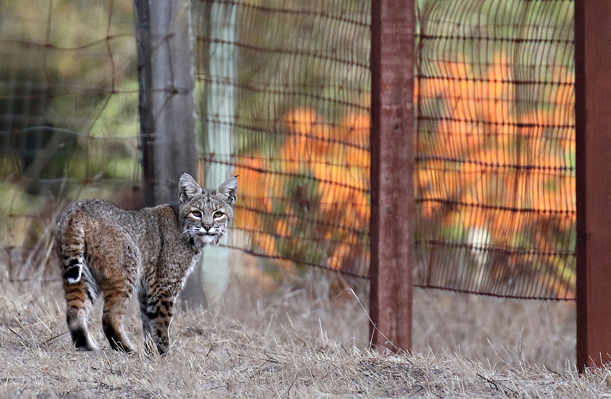 Backyard_Bobcat_3V2A0958rs