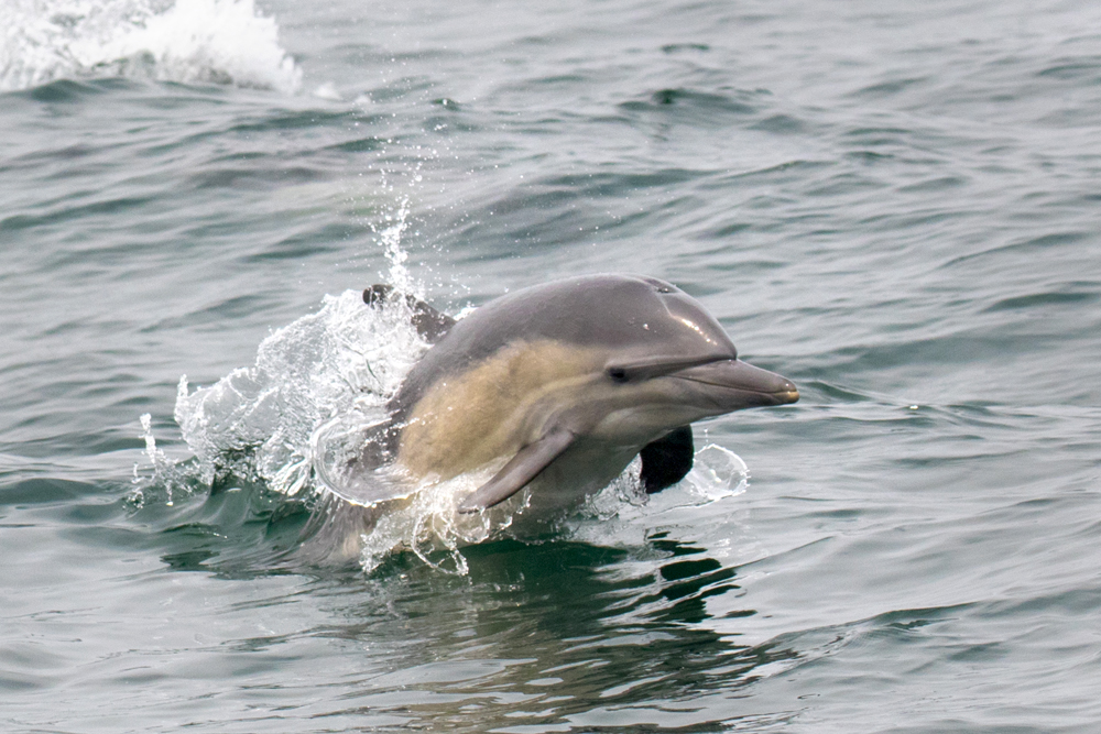 Common_dolphin_3V2A8372