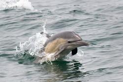 Common_dolphin_3V2A8372