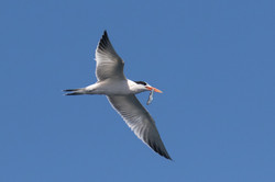 Tern_anchovy_3V2A2023