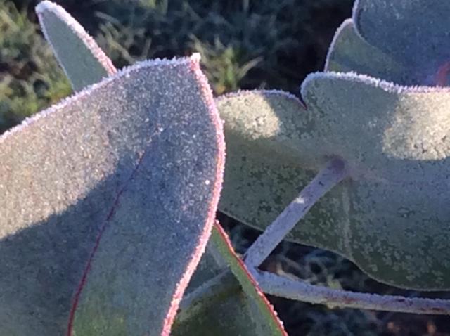 Eucalyptus foliage