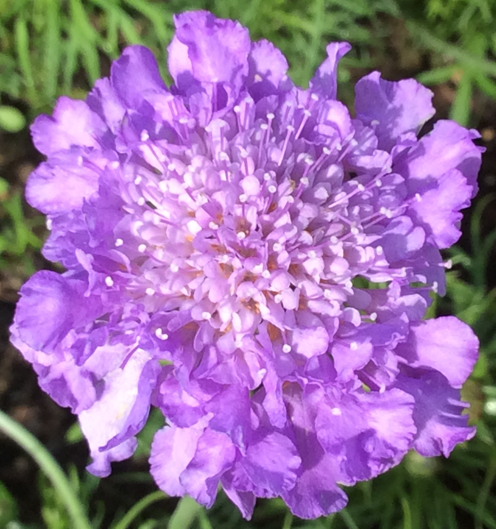 Scabious