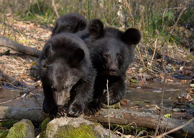 3cubs trailing creek2.jpg