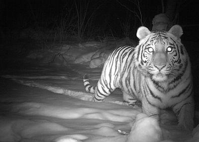 TigerB2017.JPG